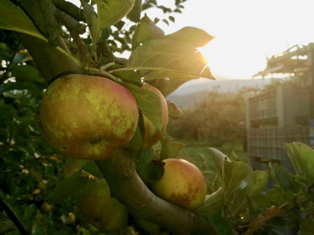 Biorfarm mela renetta