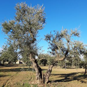 olivo-coratina-0001