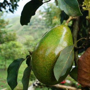 avocado_fuerte_biorfarm_frutta