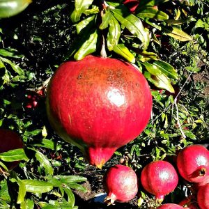melograno_wonderful_biorfarm_frutta