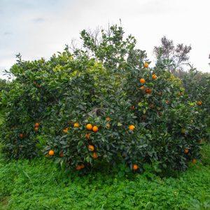 arancia-tarocco-0003