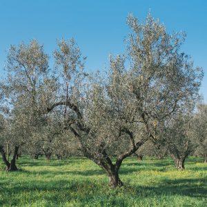 olivo-caninese-0001