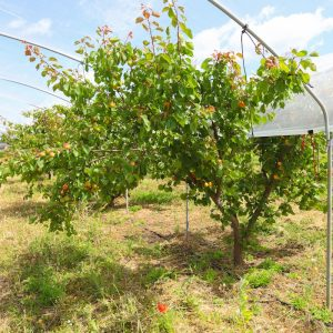 albicocca-rossa-orange-ruby-0001