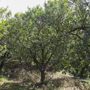 mandarino-tardivo-di-ciaculli-0002