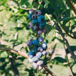 mirtillo_duke_zamboni_biorfarm_frutta